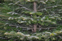 jodła biel odosobniony drzewny Obraz Stock