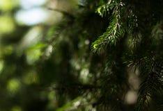 jodła biel odosobniony drzewny Zdjęcia Royalty Free