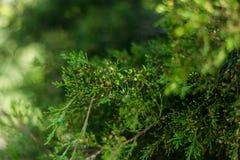 jodła biel odosobniony drzewny Zdjęcie Royalty Free