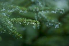 jodła biel odosobniony drzewny Obraz Royalty Free