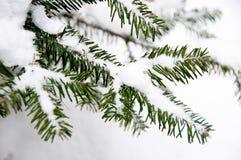 Jodeł gałąź zakrywać z śniegiem Obraz Royalty Free