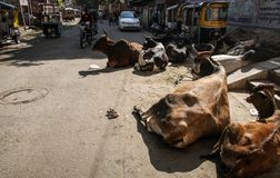 Cows chilling in the streets of Jodhpur, Rajasthan, India. Jodhpur is the second largest city in the Indian state of Rajasthan and officially the second royalty free stock images