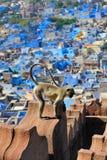 jodphur langur πίθηκος Στοκ Φωτογραφίες