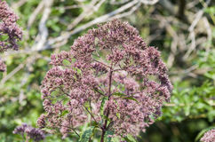 Joe Pye Weed imagem de stock royalty free