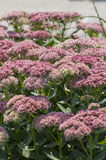 Joe Pye Weed Images stock