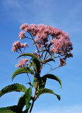 Joe Pye Weed Blossom Royalty Free Stock Photos
