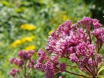 Joe Pye Weed con los jejenes que vuelan hacia el néctar dulce imagen de archivo