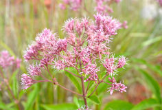 Joe Pye Weed Flower Eupatorium maculatum. Joe Pye Weed Eupatorium maculatum in full bloom Stock Photo