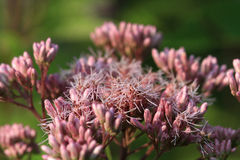 Joe-pye Weed flower Stock Image