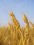 Joe's Pride. Wheat before harvest with blue sky Royalty Free Stock Photography