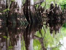 Joelhos de Cypress no pântano fotos de stock royalty free