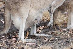 Joey кенгуру смотря вне мешок, западную Австралию Стоковое Изображение RF