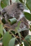 Joey коалы Стоковое Изображение