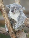 Joey australiano del bebé de la hembra adulta del oso de koala imagen de archivo