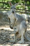 Joey baby kangaroo. In the pouch royalty free stock images