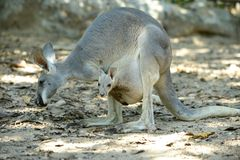 Joey baby kangaroo. In the pouch royalty free stock photo