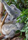 Joey sitting at its mother`s feet in the gum leaves stock photo