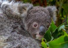 Joey cuddling swój matki w gumowych liściach Zdjęcie Stock