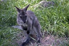 Joey czerwony necked wallaby zdjęcia stock