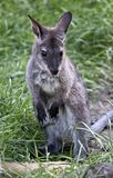 Joey czerwony necked wallaby fotografia royalty free