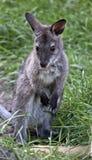 Joey czerwony necked wallaby obrazy stock