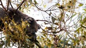 Joey de la koala y su madre que alimentan junto almacen de video