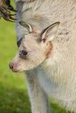 Joey do canguru que olha para fora de seu malote Fotos de Stock Royalty Free