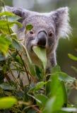 Baby koala hiding behind gum leaves stock photography