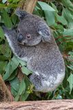 Baby koala grasping branch amongst gum leaves. A joey grasping a branch amongst the gum leaves. It`s head is turned to the ground Stock Image
