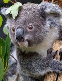 Baby koala grasping branch with two thumbs visible. A joey grasping a branch with its two thumbs visible. It is amongst the gum leaves Stock Photo