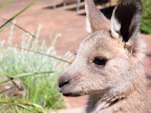 Joey gris del canguro Foto de archivo