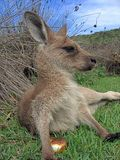 Joey kangaroo. Resting in the sun (Pebbly beach, NSW Stock Image