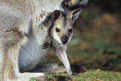Joey Kangaroo with mother close-up Stock Images