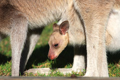 Joey in Kangaroo Pouch. A joey, or baby kangaroo, rides in its grazing mother's pouch Stock Images