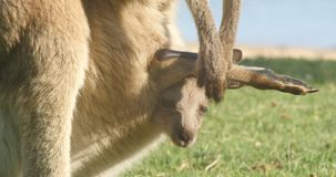 Joey Kangaroo Wallaby Marsupial Animal Australien stock footage