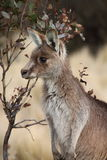 Joey Wallaby Royalty Free Stock Image