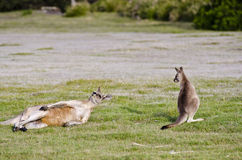 Joey watches while adult kangaroo scratches Royalty Free Stock Photo
