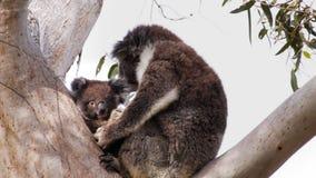 Joey y madre de la koala almacen de metraje de vídeo