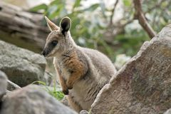 Yellow footed rock wallaby Royalty Free Stock Images