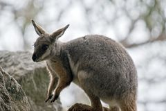 Yellow footed rock wallaby Stock Images