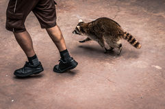 Jog with a raccoon Royalty Free Stock Image