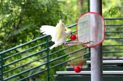Jogador de basquetebol do pássaro Fotografia de Stock Royalty Free