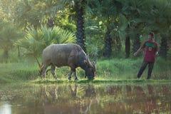 Jogador de futebol com o búfalo Imagem de Stock