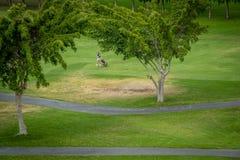 Jogador no campo de golfe fotografia de stock royalty free