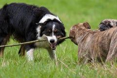 Jogando cães Imagens de Stock Royalty Free