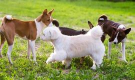 Jogando cães Foto de Stock Royalty Free