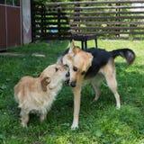 Jogando cães Imagens de Stock