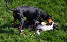 Jogando cães Fotos de Stock