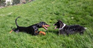 Jogando cães Fotos de Stock Royalty Free
