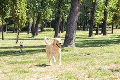 Jogando cães Imagem de Stock